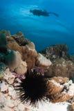 Diadema Sea Urchin Royalty Free Stock Photo