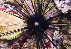 Diadema setosum lungo del riccio di mare delle spine dorsali fotografie stock libere da diritti