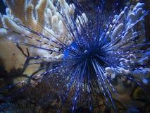 Diadema setosum z błękitnym thorns_Diademseeigel Zdjęcie Royalty Free