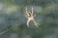 Diadematu do Araneus foto de stock