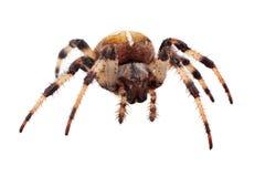 Diadematus del Araneus del ragno Fotografie Stock Libere da Diritti