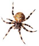 Diadematus del Araneus del ragno Fotografia Stock Libera da Diritti