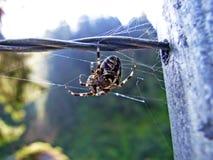 Diadematus do Araneus ou aranha de jardim europeia, epeira, orangie, aranha transversal, tecelão coroado da esfera, Gartenkreuzsp imagens de stock royalty free