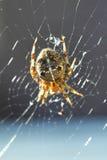 Diadematus européen d'Araneus d'araignée de jardin image libre de droits