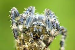 Diadematus van Araneus Royalty-vrije Stock Foto's