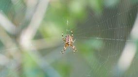 Diadematus van kruisspinaraneus de jachtdag en weefsel op Web in bos dichte omhooggaand stock footage