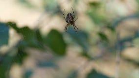 Diadematus van kruisspinaraneus de jachtdag en weefsel op Web in het bos stock footage