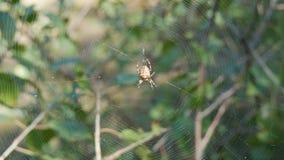 Diadematus van kruisspinaraneus de jachtdag en weefsel op Web in het bos stock videobeelden