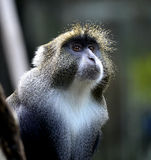 Diademed Monkey Stock Images