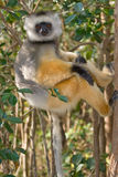 Diademed Sifaka. Wild Diademed Sifaka in Madagascar Royalty Free Stock Photo