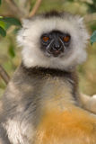 Diademed Sifaka. Wild Diademed Sifaka in Madagascar Royalty Free Stock Image