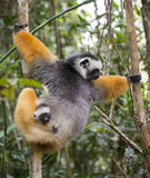Diademed sifaka with a baby. Madagascar. Mantadia National Park. Royalty Free Stock Photo