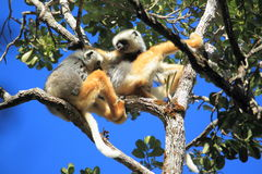 Diademed sifaka Royalty Free Stock Images