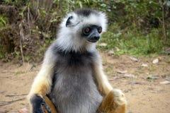 Diademed Sifaka Diadema, endemisch, endengered Seltener Maki, Abschluss oben, Porträt Propithecus-diadema, wilde Natur Madagaskar lizenzfreie stockbilder