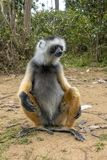 Diademed Sifaka Diadema, endemisch, endengered Seltener Maki, Abschluss oben, Porträt Propithecus-diadema, wilde Natur Madagaskar lizenzfreie stockfotos