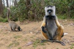 Diademed Sifaka Diadema, endemisch, endengered Seltener Maki, Abschluss oben, Porträt Propithecus-diadema, wilde Natur Madagaskar lizenzfreies stockfoto
