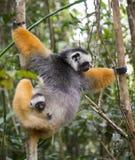 Diademed-sifaka mit einem Baby madagaskar Nationalpark Mantadia Lizenzfreies Stockfoto