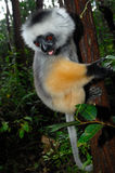 Diademed sifaka (Propithecus diadema) Royalty Free Stock Photo