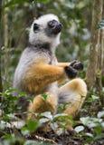 Diademed sifaka siedzi w lesie na ziemi Madagascar Mantadia park narodowy Obrazy Royalty Free