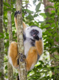 The diademed sifaka sitting on a branch. Madagascar. Mantadia National Park. Royalty Free Stock Photo