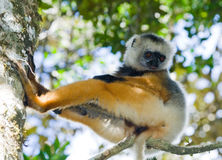 The diademed sifaka sitting on a branch. Madagascar. Mantadia National Park. Stock Images