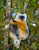 The diademed sifaka sitting on a branch. Madagascar. Mantadia National Park. Stock Photo