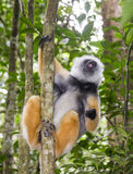The diademed sifaka sitting on a branch. Madagascar. Mantadia National Park. Royalty Free Stock Photography