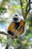 Diademed sifakazitting op een tak madagascar Mantadia Nationaal Park stock afbeeldingen
