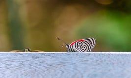 Diaethria anna, den Anna `en s åttioåtta, en fjärilsuppehälle i våta tropiska skogar i centralt och Sydamerika Royaltyfri Bild