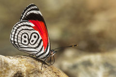 diaethria 88 igualmente chamados da borboleta imagens de stock