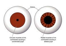 Diafragma del ojo stock de ilustración