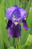 Diafragma enano violeta Fotografía de archivo libre de regalías