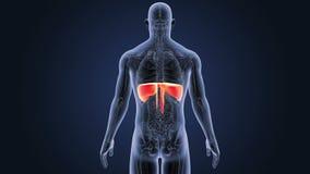 Diafragma met anatomie vector illustratie