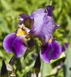 Diafragma púrpura Imagen de archivo