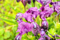 Diafragma púrpura en un fondo natural verde Fotografía de archivo libre de regalías