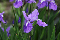 Diafragma púrpura Foto de archivo