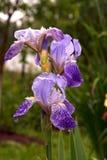 Diafragma violeta Fotos de archivo libres de regalías