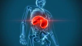 Diaframma di dolore degli organi interni illustrazione di stock