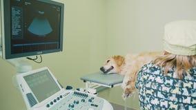 Diagnósticos ultrassônicos do cão Ultrassom na medicina veterinária vídeos de arquivo
