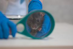 Diagnostics concept. rat black two symbol of the Chinese stock photo