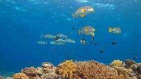 Diagonaal gestreept sweetlips op een koraalrif Stock Foto's