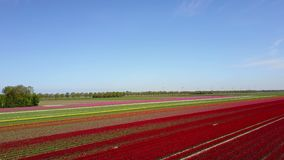 Aerial view of multi-colored tulip field. Diagonal aerial pan of a multi-colored tulip field in the Netherlands stock footage