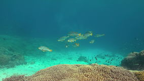 Diagonal banded sweetlips on a coral reef. 4k stock footage