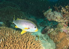 Diagonal-banded sweetlips Royalty Free Stock Photo