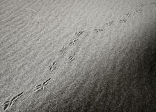 Diagonal bird footprints in desert Royalty Free Stock Images