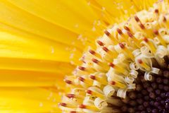 Diagonal blurred floral background. Close-up yellow gerberas petals and stamens with pollen. Diagonal blurred floral yellow background. Close-up gerberas petals royalty free stock image