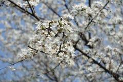 Diagonal branch of Prunus cerasifera against the sky. Diagonal branch of Prunus cerasifera against blue sky stock images