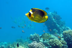 Diagonal Butterfly fish. Of the Red Sea coral reef Royalty Free Stock Image