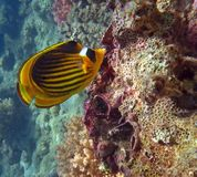 Diagonal Butterflyfish Royalty Free Stock Photography