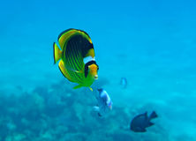 Diagonal Butterflyfish. Of the Red Sea coral reef Stock Images